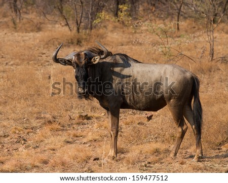 Wildebeest standing on the African grass plains - stock photo
