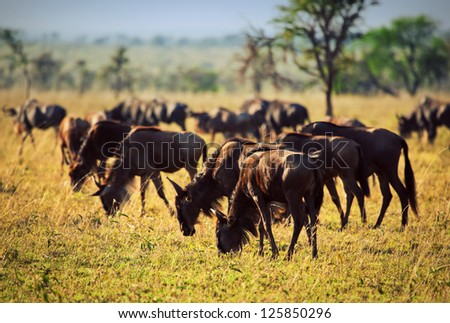 Wildebeests herd, Gnu on savanna. Safari in Serengeti, Tanzania, Africa