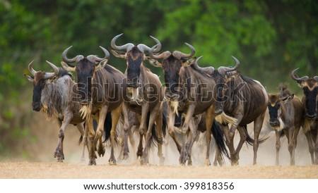 Wildebeests running through the savannah. Great Migration. Kenya. Tanzania. Masai Mara National Park. An excellent illustration. - stock photo