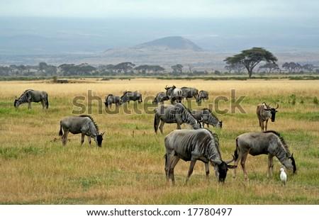 Wildebeests, wildlife in Kenya - stock photo