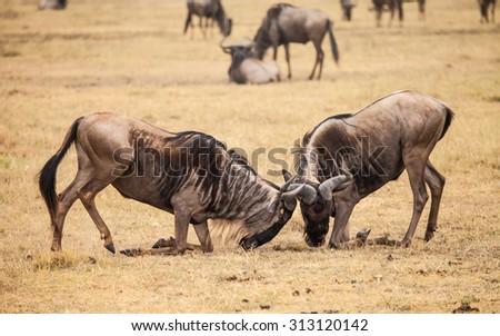 wilderbeast attack in wild kenya - stock photo