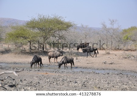 Wilderbeest and Zebras at a watering hole at the Hluhluwe and Imfolozi game park near St Lucia, South Africa - stock photo