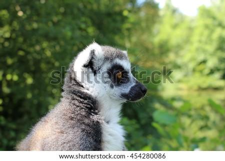 Wilderness lemur - stock photo