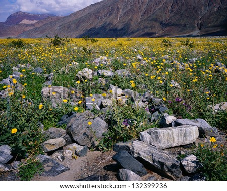 Wildflower bloom in spring (March 2005), Death Valley National Park, California - stock photo