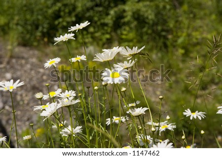 wildflower meadow of marguerites - in the Rocky Mountains - stock photo