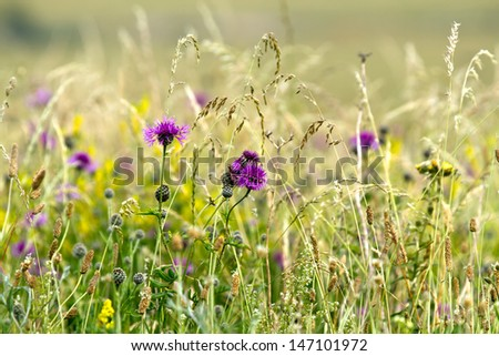 Wildflower Meadow with Knapweed, Ragwort and grasses - stock photo
