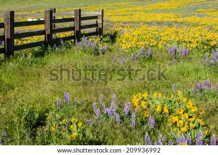 Wildflower meadow with native Balsamroot and Lupin plants - stock photo