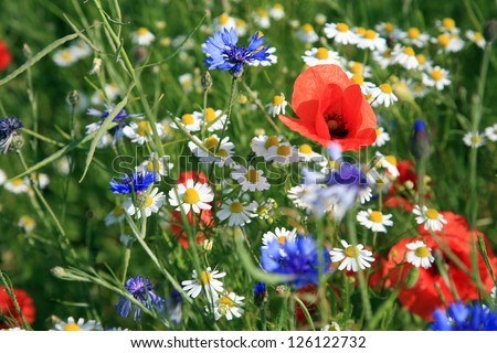 Wildflower meadow with poppies - stock photo