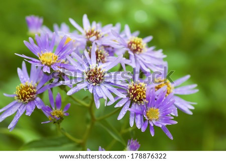 Wildflower, the Michaelmas daisy or Aster novae angliae growing wild in Alberta. Native to much of Canada  and the United States east of the rockies. - stock photo