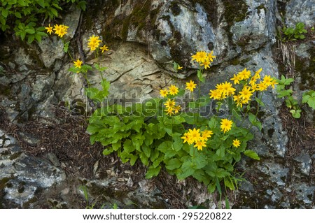 Wildflowers along a mountain trail. Yellow asters blooming in the summer months along the Sauk Mountain trail in the North Cascade range of western Washington state, USA. - stock photo