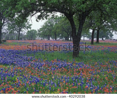 Wildflowers cover the Texas landscape filled with Texas bluebonnets and Indian paintbrush in the Hillcountry. Texas - stock photo