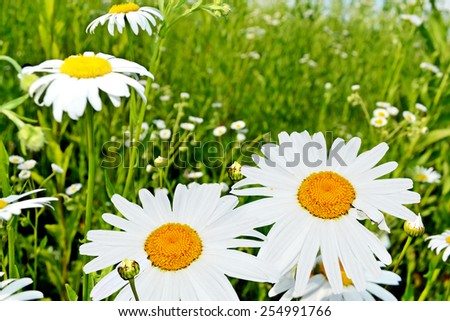 Wildflowers daisies - stock photo