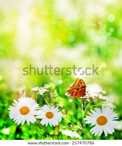 Wildflowers daisies. butterfly - stock photo