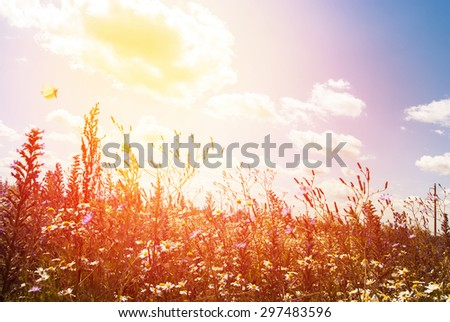 Wildflowers Field and Blue Sky with sunlight. Cloudy Weather in Summer Day - stock photo