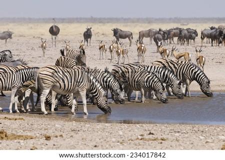 Wildlife at Sonderkop Waterhole, Etosha, Namibia, Africa - stock photo