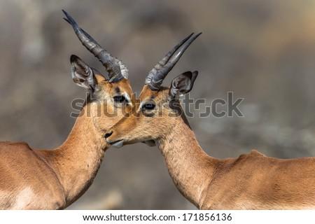 Wildlife Buck Eyes Wildlife animals impala buck eye to eye close in affections - stock photo