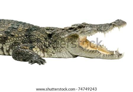 Wildlife crocodile open mouth isolated horizontal on white background  - stock photo