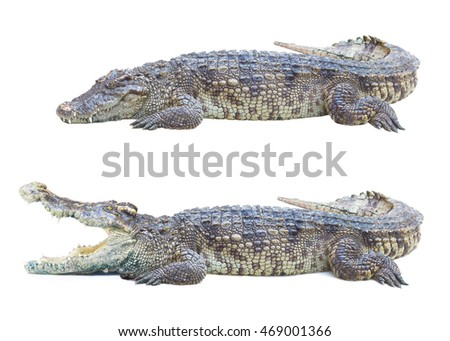 Wildlife crocodile open mouth resting isolated on white background, in Thailand Farm . This has a clipping path.