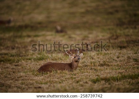 wildlife, hog-deer on wild background - stock photo