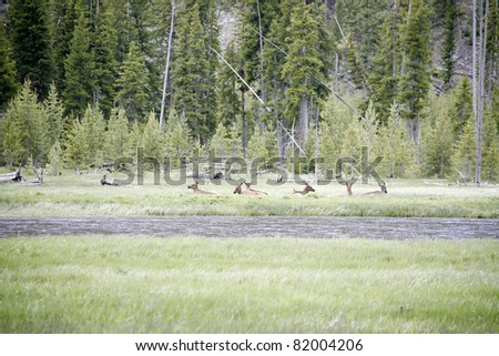 wildlife of animals  in the yellow stone national park - stock photo
