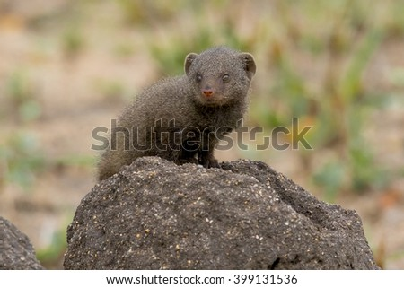 Wildlife of South Africa's Kruger National Park - juvenile mongoose - stock photo