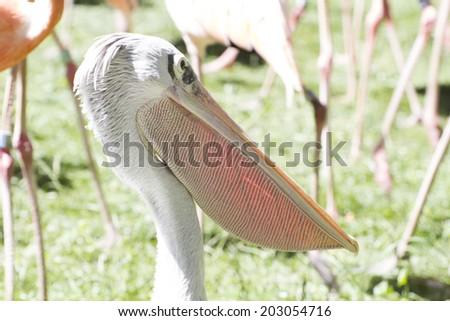 wildlife pelican, bird with huge beak - stock photo