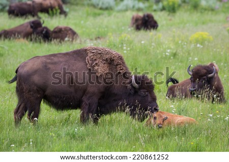 wildlife showing affection with a mother cleaning her baby in yellowstone national park