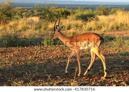 Wildlife: Springbok in morning light at a nature reserve