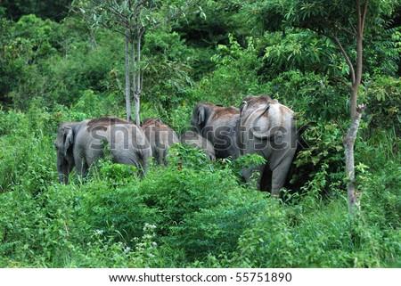 Wilds Elephant at Khao yai National Park Thailand. - stock photo