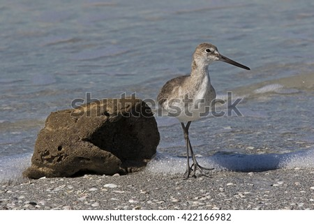 Willet (Catoptrophorus semipalmatus) feeding on a sea sponge on a Gulf Coast beach.