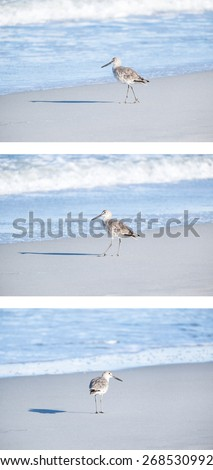 Willet on the Beach in Early Morning Light - stock photo