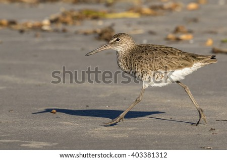 Willet (Tringa semipalmata) running at the beach, Galveston, Texas, USA.