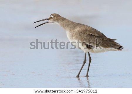 Willet (Tringa semipalmata) yawning on a beach - Fort de Soto Park, St. Petersburg, Florida