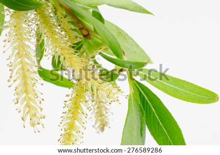 willow blooming - stock photo