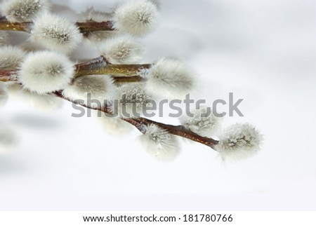 Willow branch with catkins - stock photo