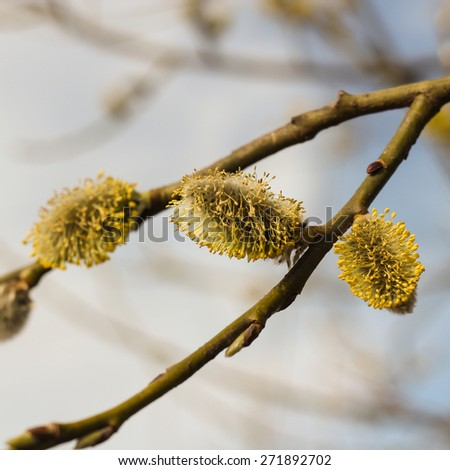 Willow branches in spring with blooming buds - stock photo