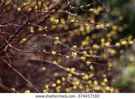 willow branches with buds blossoming. Shallow Depth of Field - stock photo