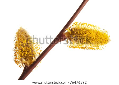 Willow branches with buds. Isolated - stock photo