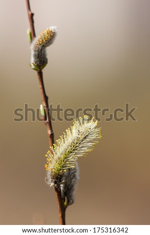 willow buds in spring closeup on foreground