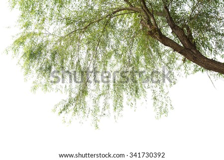 Willow  in a white background - stock photo