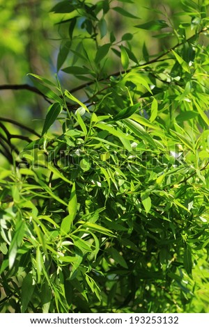 willow leaves - stock photo