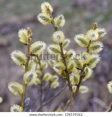 Willow (Salix caprea) branches with buds blossoming in early spring - stock photo