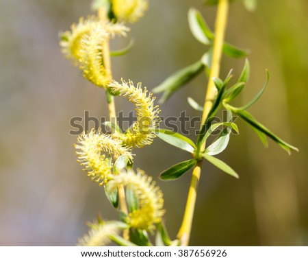 willow tree in bloom on nature - stock photo