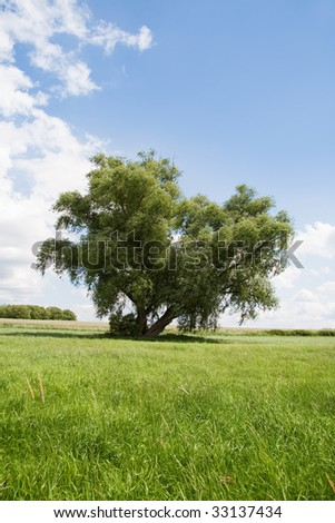 Willow tree on the green meadow
