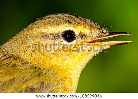 Willow Warbler (Phylloscopus trochilus). Close up portrait. - stock photo