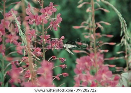 Willowherb - Epilobium Angustifolium. Blooming Sally . Purple Alpine Fireweed. Flower blossom season. Cabbage butterfly - stock photo