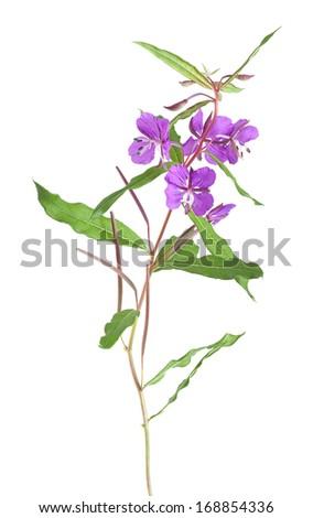 Willowherb, Epilobium angustifolium isolated on white background - stock photo