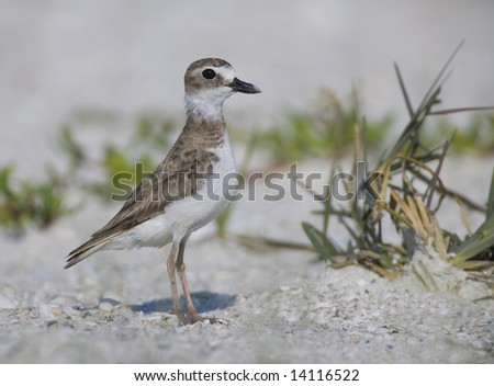 Wilson's Plover standing on the beach.