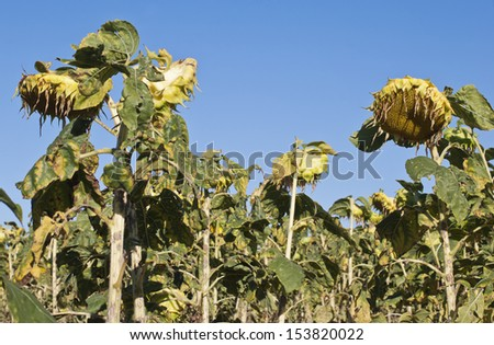 Wilting sunflowers against a blue sky - stock photo