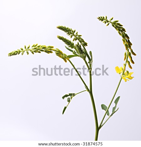 Wilting Weed - stock photo